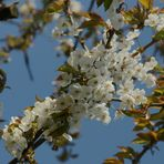 ....die Kirschen blühen...