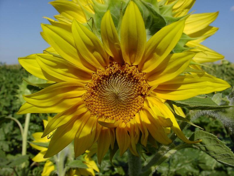 Die klassische Sonnenblume immer wieder schön