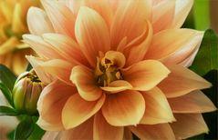 Die kleine Dahlie zeigt reichen Blütenflor...