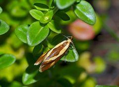 """Die kleine Faulholzmotte heisst """"Harpella forficella"""" - Un papillon de nuit mal-aimé!"""