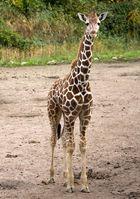 Die  kleine Giraffe