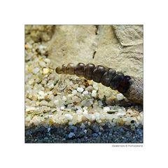 Die kleine Klapper der kleinen Klapperschlange klapperte ziemlich klapprig...