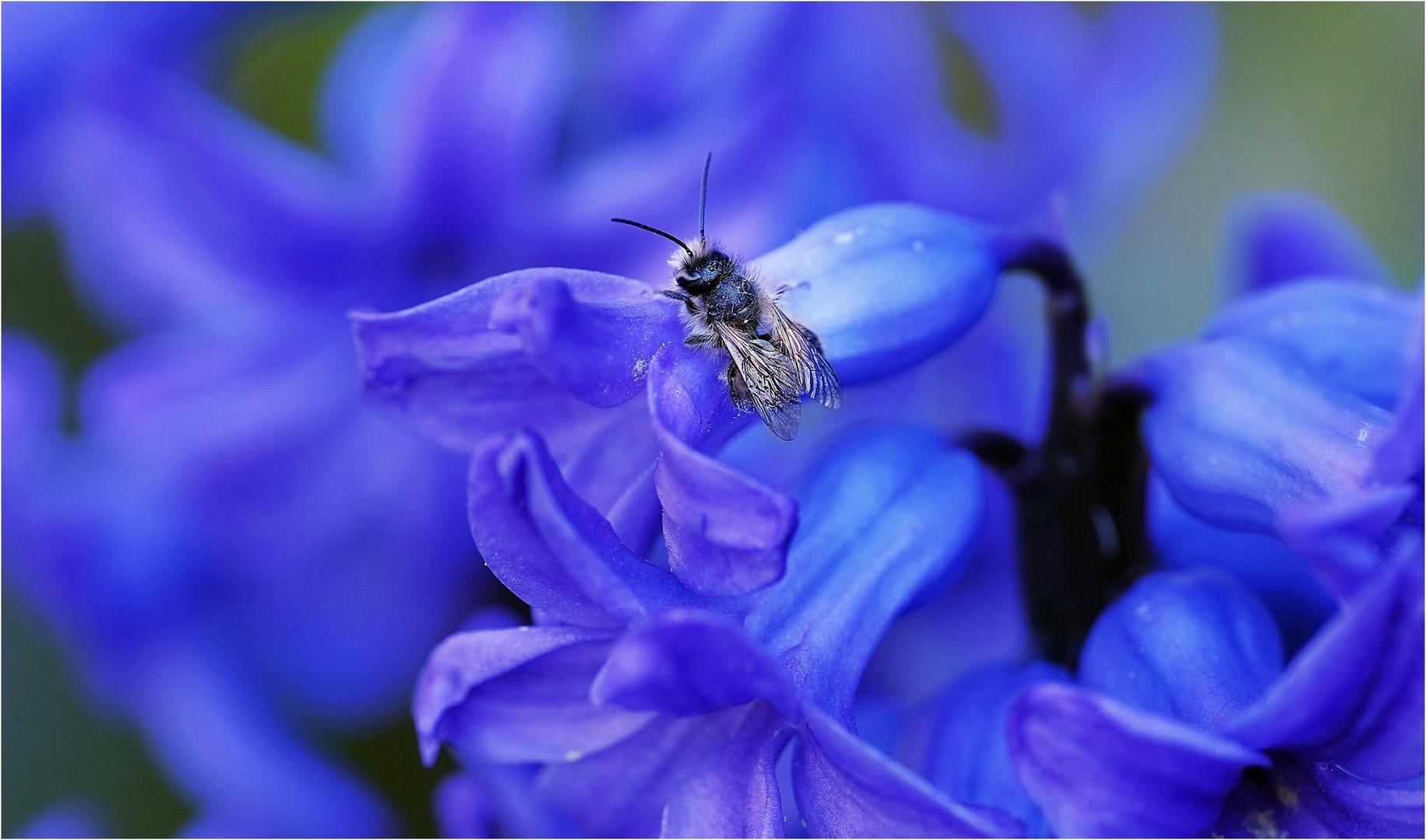die kleine Mauerbiene