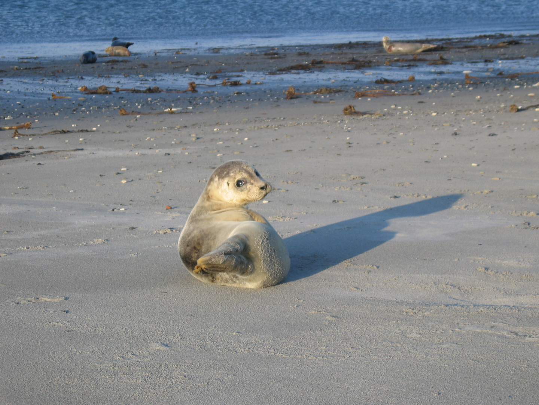 Die kleine, neugierige Robbe