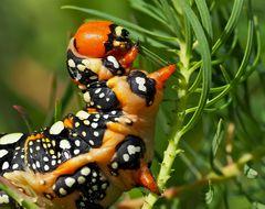 Die kleine Raupe Nimmersatt. - The Very Hungry Caterpillar. - La chenille bouffeuse...
