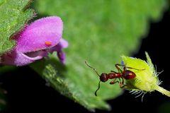 Die kleine rote Ameise sucht den direktesten Weg zur Taubnesselblüte.