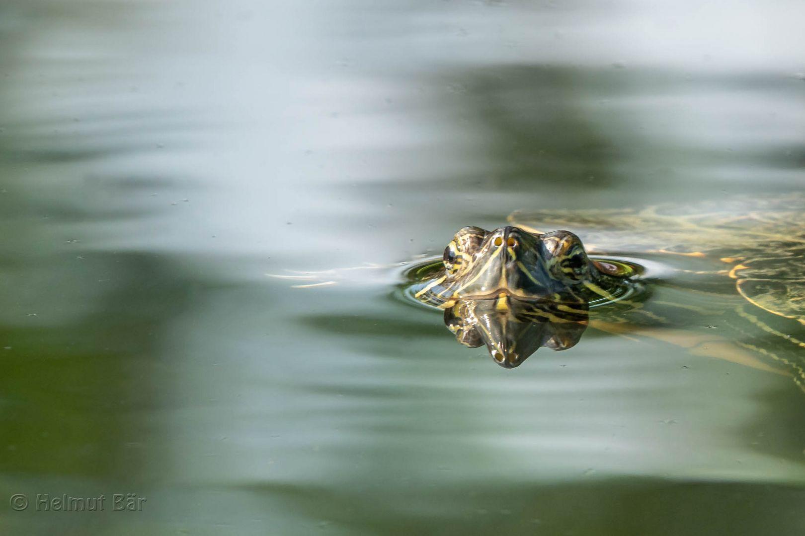 Die kleine Schildkröte