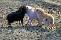 Die kleine Schweinebande