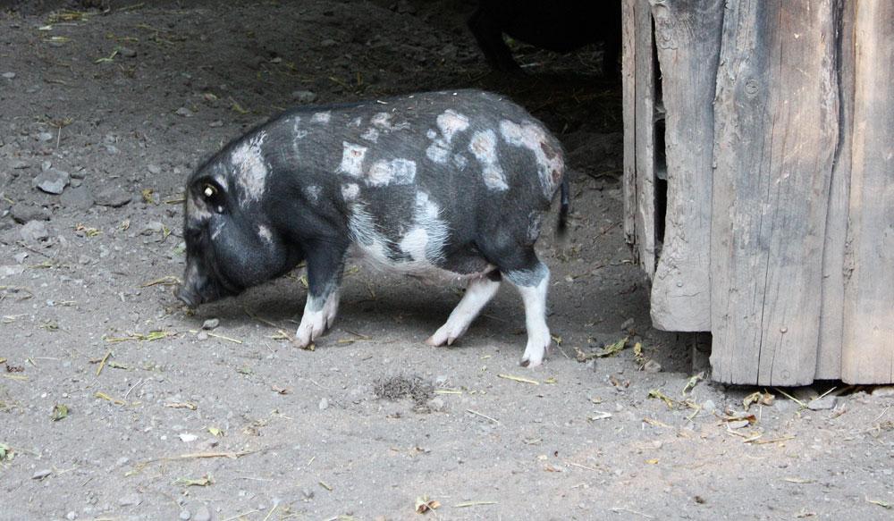 """die """"kleine"""" Schwester vom Hängebauchschwein"""