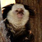 Die kleinste Affen der Welt...