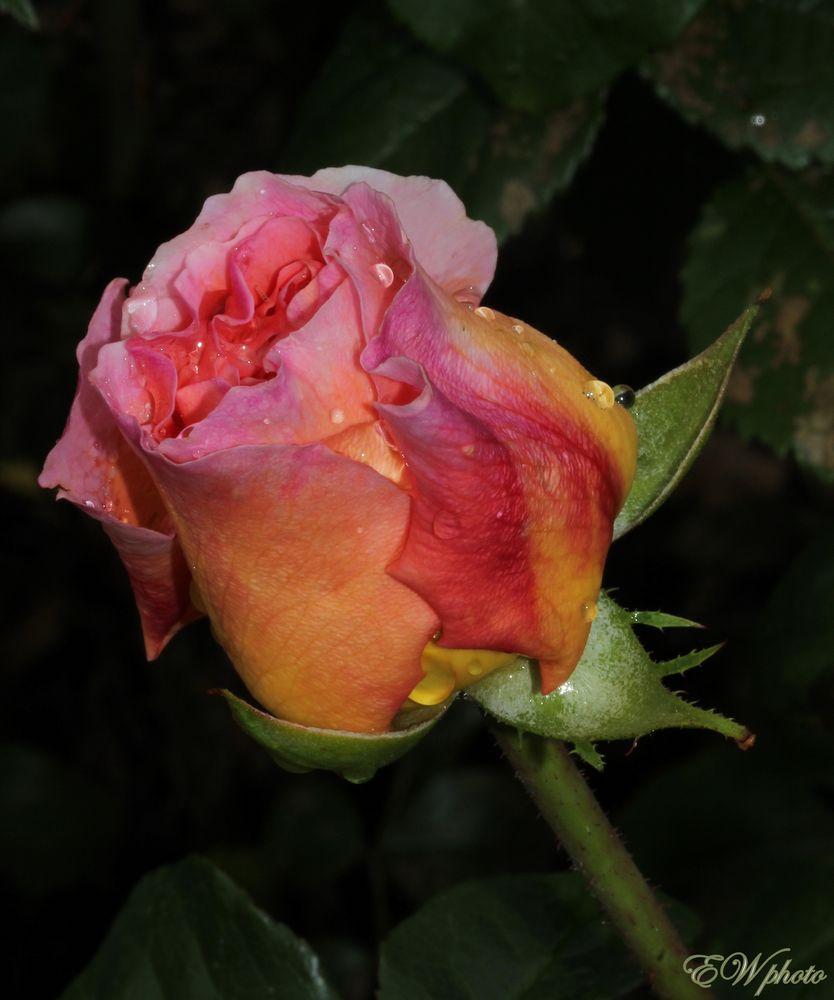 """die """"Königin der Blumen""""..."""