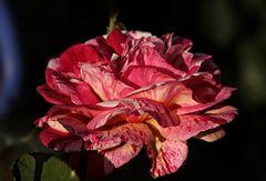 die Königin der Blumen...