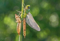die Königin der Libellen