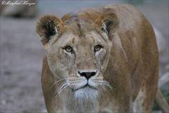 Die Königin der Tiere