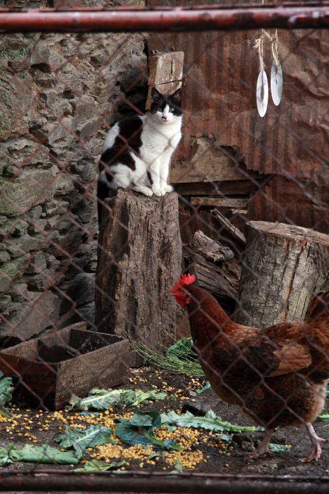 Die Königin des Hühnerstalls