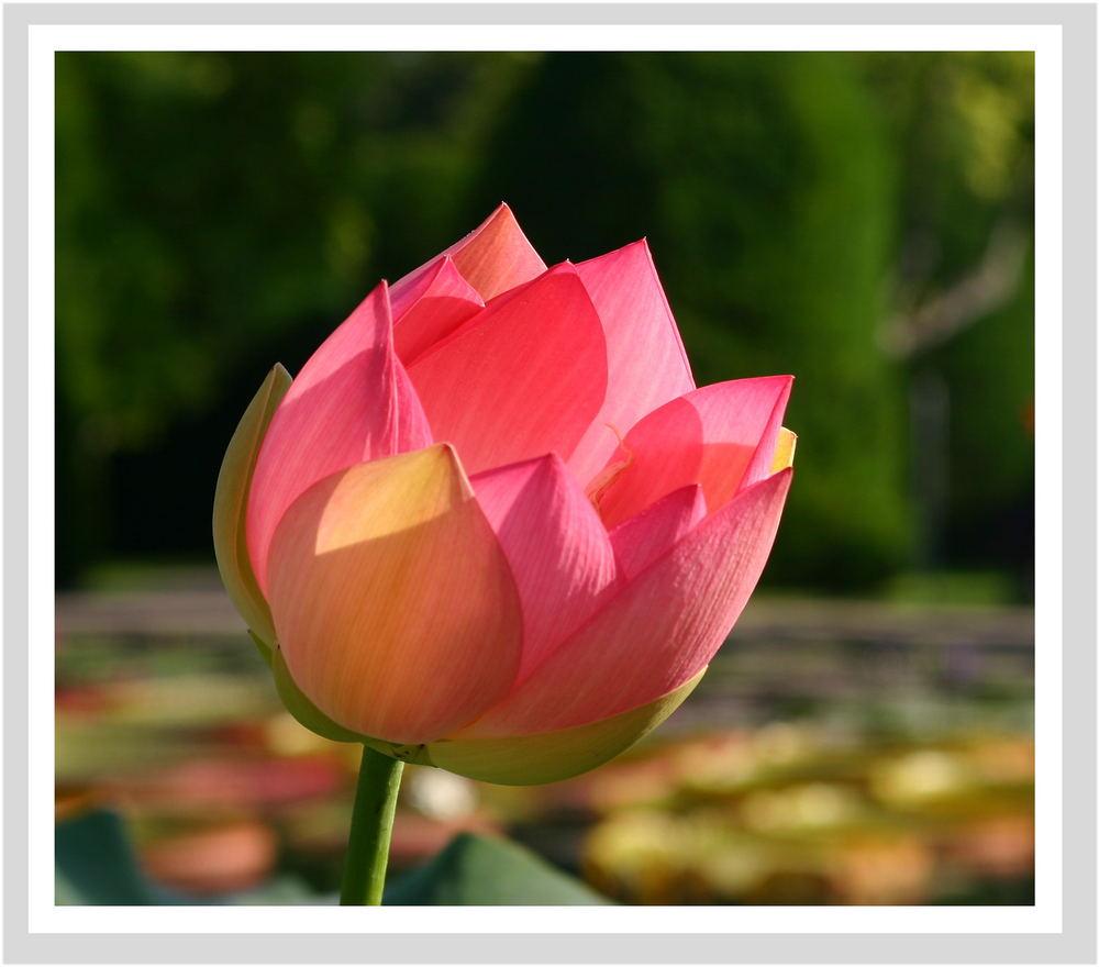 die Königin - feine Blütenblätter