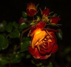 Die Köningin (Rose)-1