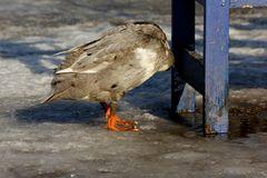 ..die kopflose Ente
