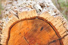 Die Korkeiche (Quercus suber)