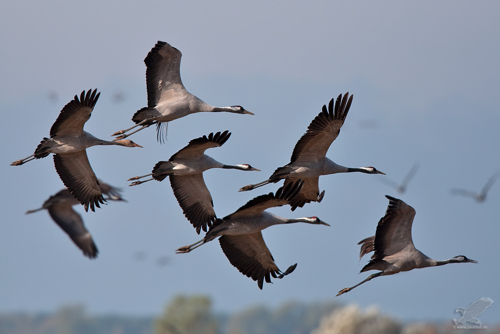 Die Kraniche Des Ibykus Foto Bild Tiere Wildlife Wild Lebende Vögel Bilder Auf Fotocommunity