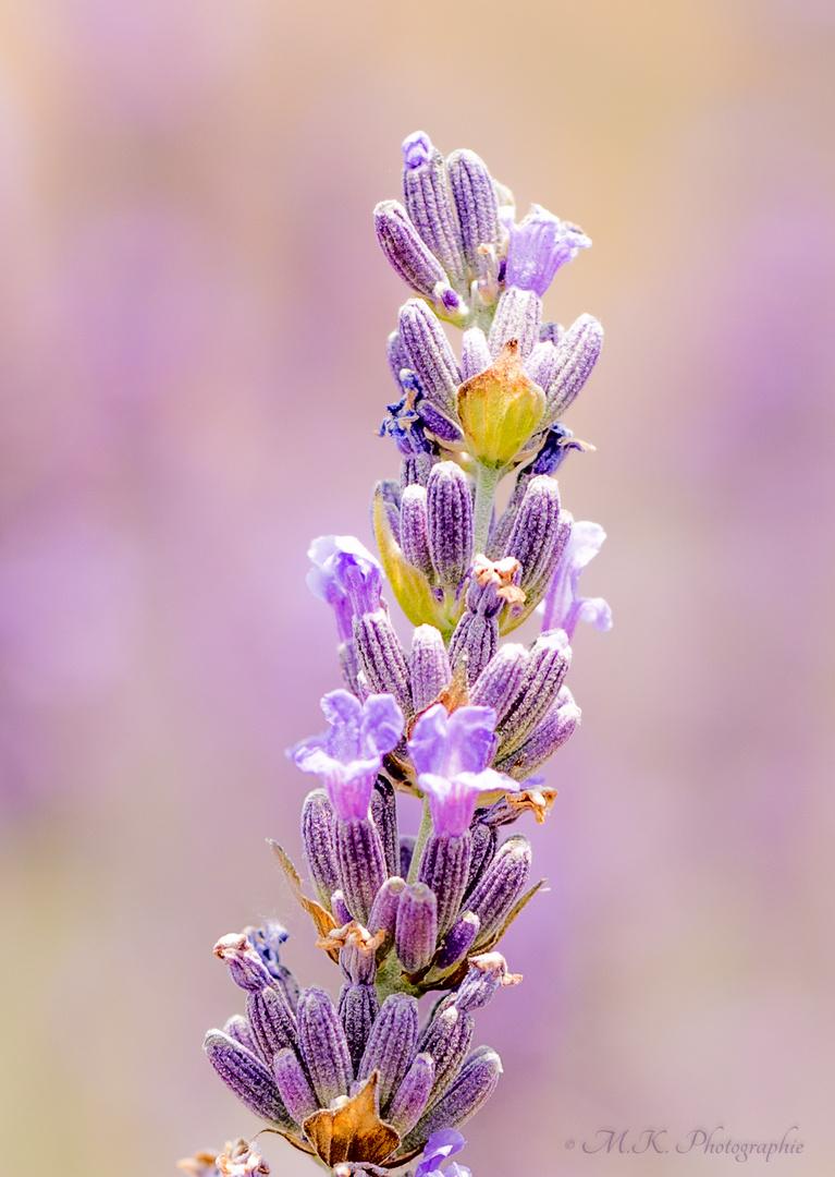 Die Krone des Lavendel