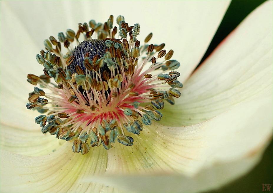 die Kronen-Anemone...