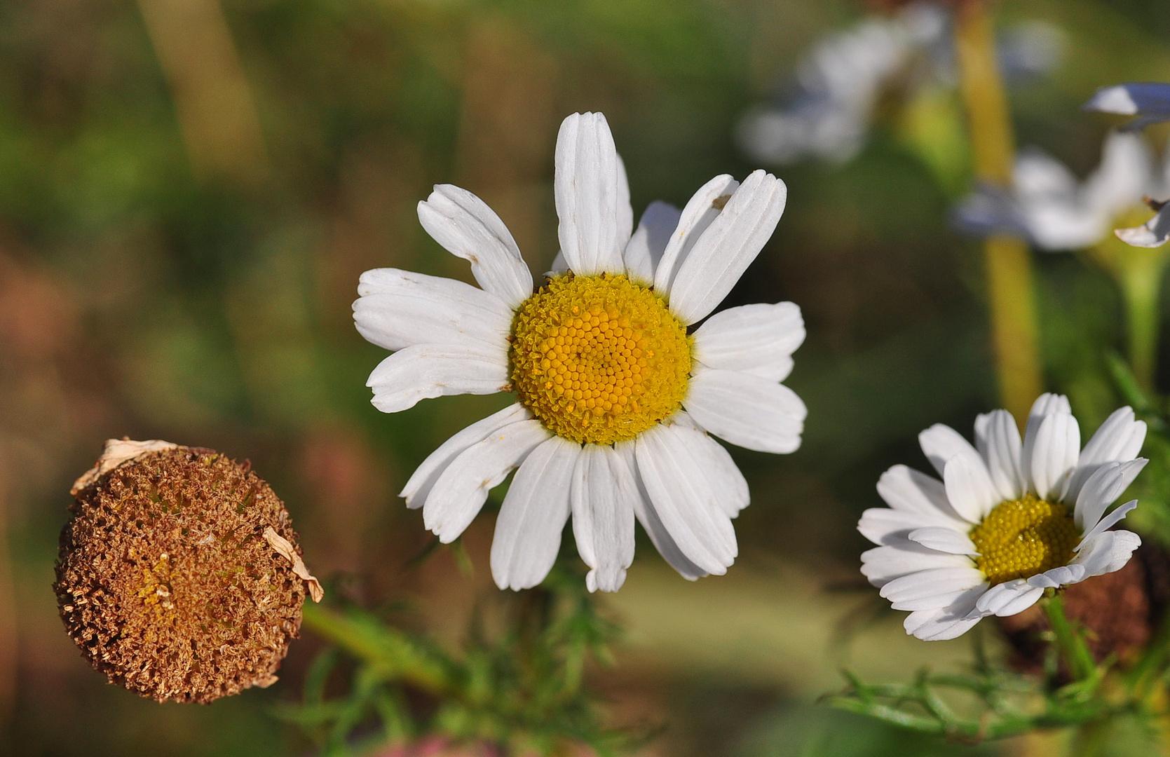 DIe Küsten- Kamille (Tripleurospermum maritimum)