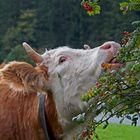 Die Kuh, die den Busch des Nachbars frisst... - La vache qui mange le buisson du voisin...