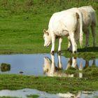 Die Kuh im Spiegel