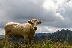 Die Kuh in den Bergen..