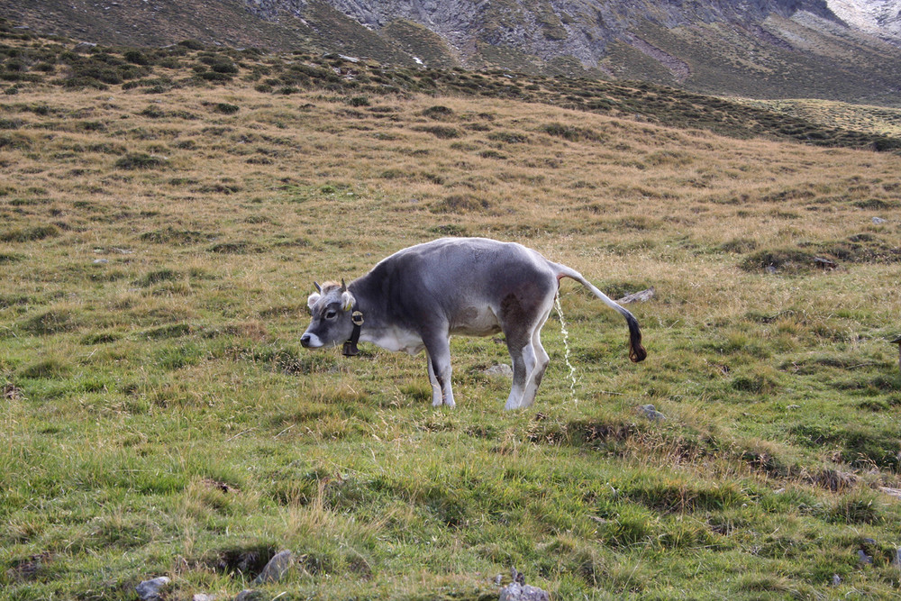 Die Kuh macht nicht nur muuh sondern auch luuluu!!