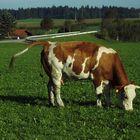 Die Kuh scheint voll zu sein, läuft über
