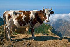 Die Kuh über der Kuh über dem Tal
