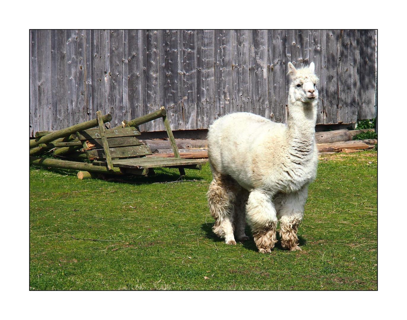 Die Lamas von Sichersreuth