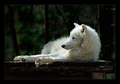 [ Die Langeweile des Polarwolfs ]