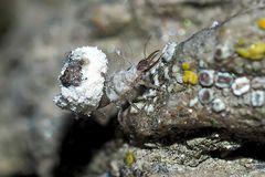 Die Larve der nützlichen Florfliege, ev. Chrisopidia ciliata. - La chrysope mange des pucerons...