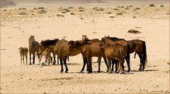 Die legendären Wüstenpferde..