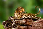 Die Leopardnatter