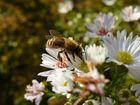 Die letzte Honigbiene