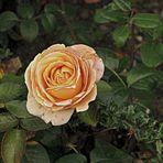 Die letzte Rose am Wegesrand