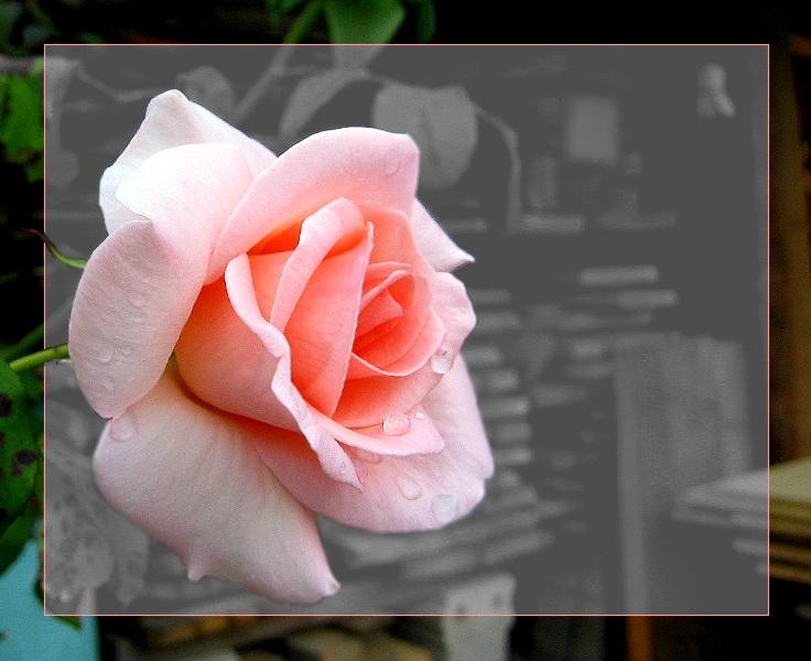| Die letzte Rose ... |