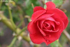 Die Letzte Rose ...
