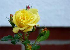 Die letzte Rose, bei uns vor dem Haus