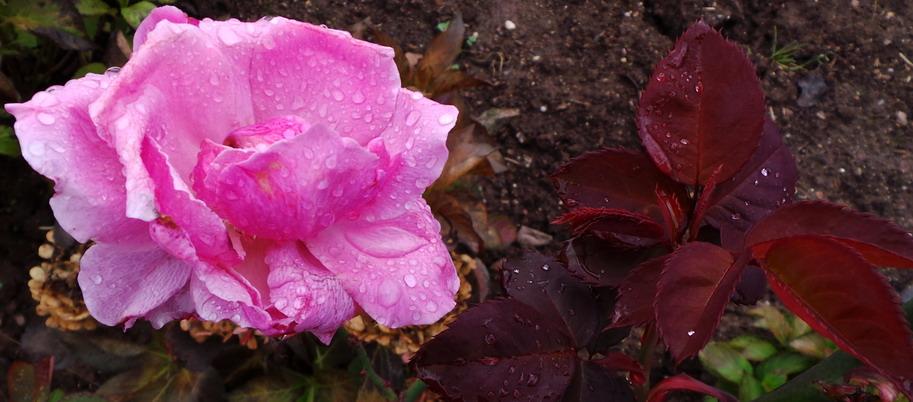 Die letzte Rose ..... genieße sie!