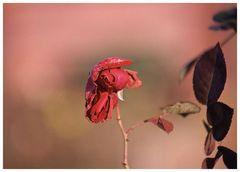 Die letzte Rose im November