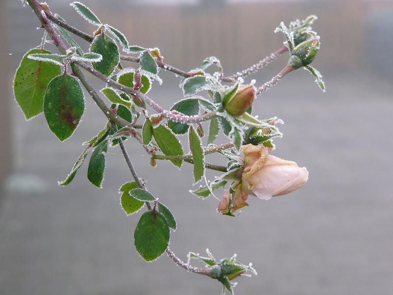 Die letzte Rose im Winter