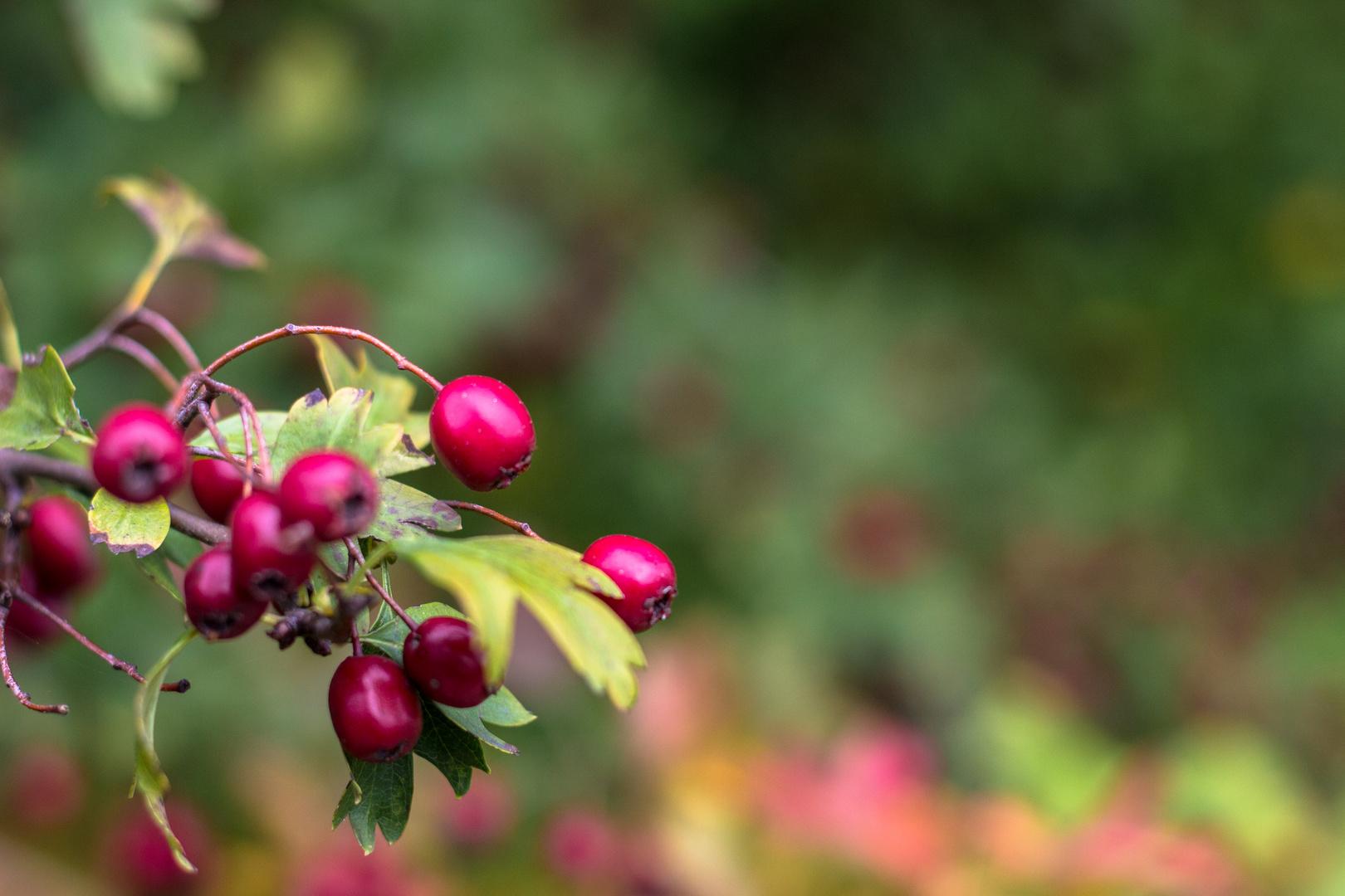 Die letzten Beeren im Herbst