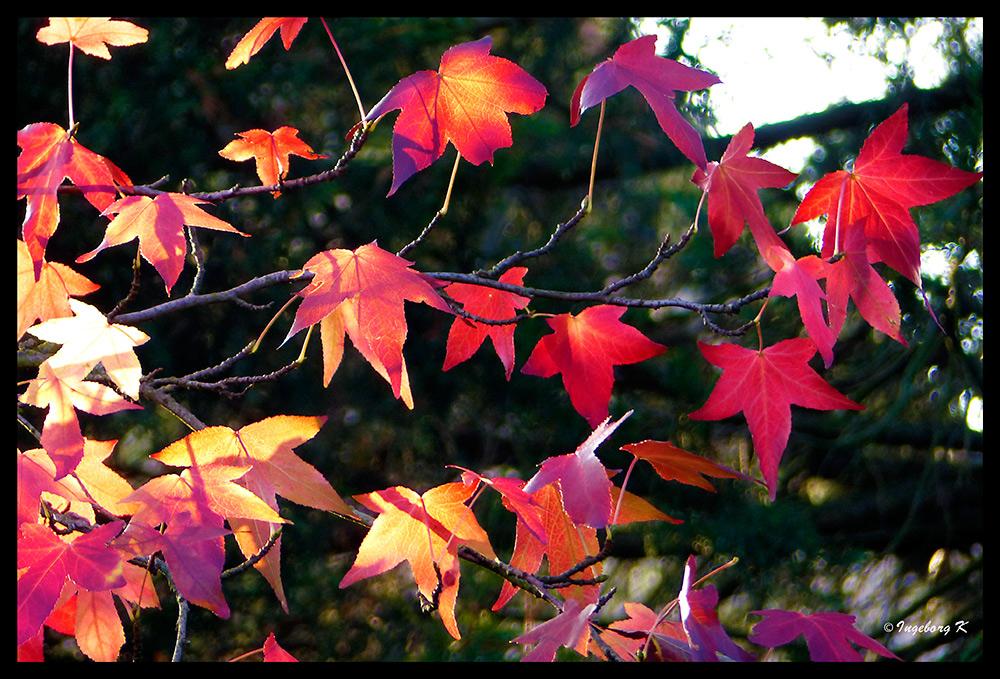 Die letzten Blätter des Amberbaumes erstrahlen in der milden Herbstsonne