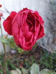 Die letzten Blüten (3)