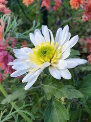 Die letzten Blüten im Garten (2)